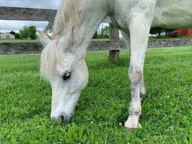 Managing Horses on High Sugar Pastures